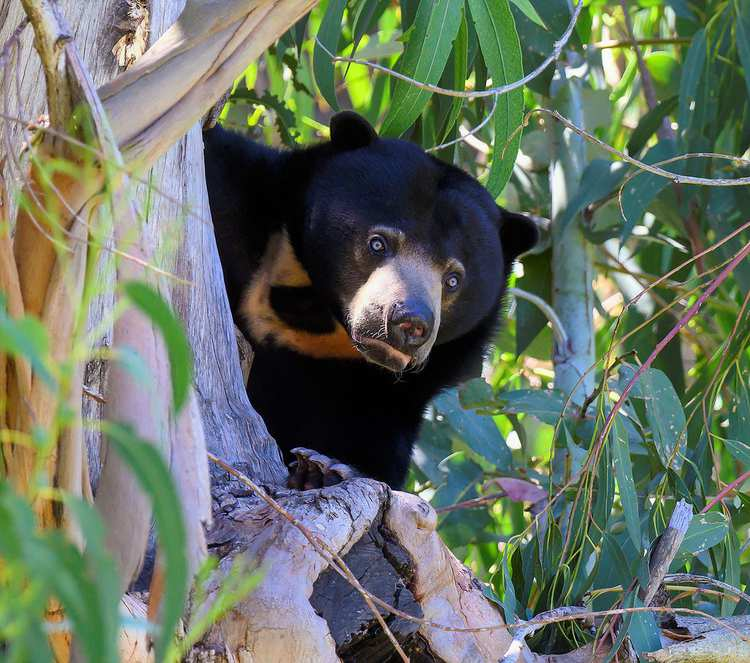 """Wildlife - """"Sun bear in a zoo tree"""" by Doug Greenberg is licensed under CC BY-NC 2.0"""