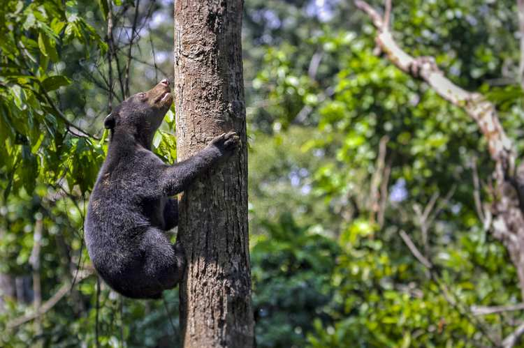 Malayan Sun Bear Wildlife Ecology Research GettyImages-1089521014.jpg