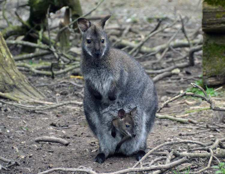 Wallaby - Ecology Research Dr Anthony Caravaggi