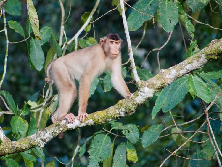 Wildlife - Southern_Pig-tailed_Macaque_(14839993268).jpg