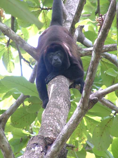 Male mantled howler - Dr Tracie MCkinney's research