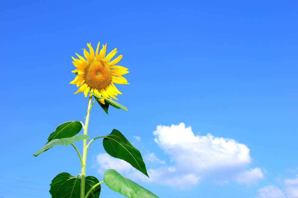 Sunflower / Blodyn yr Haul