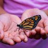 pili pala butterfly