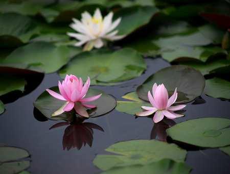 water-lilies.jpg